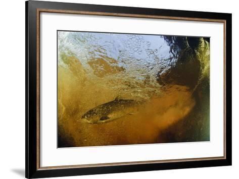 Brown Trout (Salmo Trutta) in Turbulent Water at a Weir, River Ettick, Selkirkshire, Scotland, UK-Linda Pitkin-Framed Art Print
