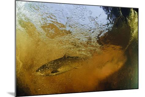 Brown Trout (Salmo Trutta) in Turbulent Water at a Weir, River Ettick, Selkirkshire, Scotland, UK-Linda Pitkin-Mounted Photographic Print