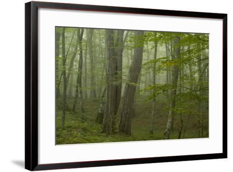 Forest with Beech Trees and Black Pines in Mist, Crna Poda Nr, Tara Canyon, Durmitor Np, Montenegro-Radisics-Framed Art Print