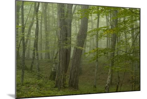Forest with Beech Trees and Black Pines in Mist, Crna Poda Nr, Tara Canyon, Durmitor Np, Montenegro-Radisics-Mounted Photographic Print