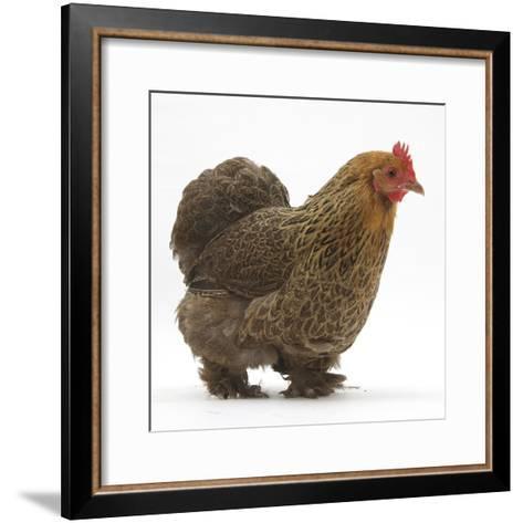 Portrait of a Partridge Pekin Bantam, in Profile-Mark Taylor-Framed Art Print