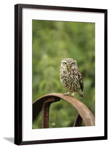 Little Owl (Athene Noctua) Perched on a Rusting Iron Wheel, Essex, England, UK, June-Luke Massey-Framed Art Print