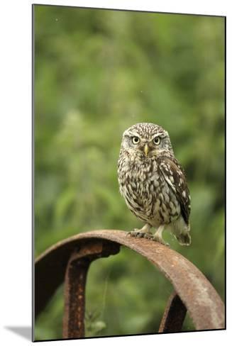 Little Owl (Athene Noctua) Perched on a Rusting Iron Wheel, Essex, England, UK, June-Luke Massey-Mounted Photographic Print