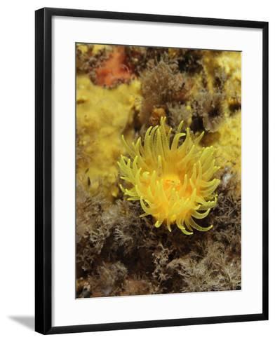 Sunset Cup Coral - Yellow Cave Coral, on Sponge Covered Rock Face, Lundy Island, Devon, England-Linda Pitkin-Framed Art Print