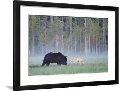 European Grey Wolf (Canis Lupus) Interacting with European Brown Bear (Ursus Arctos) Kuhmo, Finland-Widstrand-Framed Art Print