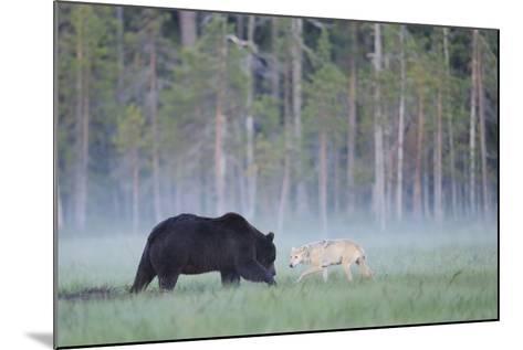 European Grey Wolf (Canis Lupus) Interacting with European Brown Bear (Ursus Arctos) Kuhmo, Finland-Widstrand-Mounted Photographic Print