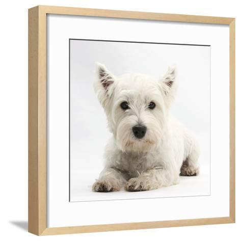 West Highland White Terrier Lying-Mark Taylor-Framed Art Print