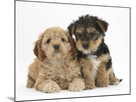 Cavapoo Puppy, 7 Weeks, and Yorkshire Terrier Puppy, 8 Weeks-Mark Taylor-Mounted Photographic Print