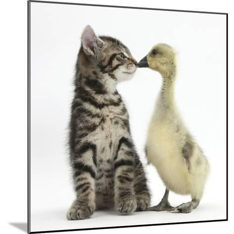 Cute Tabby Kitten, Fosset, 9 Weeks, Nose to Beak with Yellow Gosling-Mark Taylor-Mounted Photographic Print