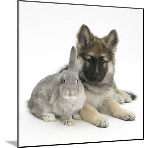 German Shepherd Dog (Alsatian) Bitch Puppy, Echo, with Grey Windmill-Eared Rabbit-Mark Taylor-Mounted Photographic Print