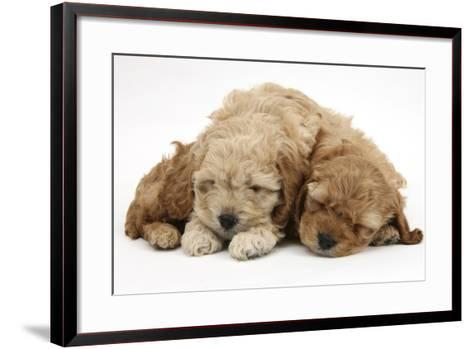 Two Golden Cockerpoo (Cocker Spaniel X Poodle) Puppies Sleeping-Mark Taylor-Framed Art Print
