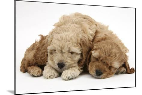 Two Golden Cockerpoo (Cocker Spaniel X Poodle) Puppies Sleeping-Mark Taylor-Mounted Photographic Print