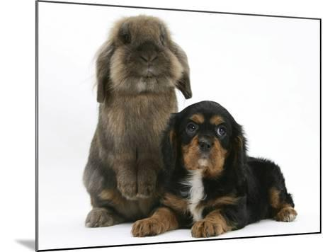 Black-And-Tan Cavalier King Charles Spaniel Puppy and Lionhead Rabbit-Mark Taylor-Mounted Photographic Print