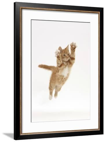 Ginger Kitten Leaping with Legs and Claws Outstretched-Mark Taylor-Framed Art Print