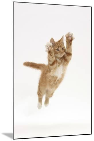 Ginger Kitten Leaping with Legs and Claws Outstretched-Mark Taylor-Mounted Photographic Print