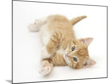 Ginger Kitten Rolling on His Back-Mark Taylor-Mounted Photographic Print