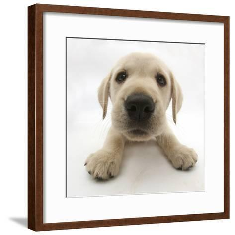 Yellow Labrador Retriever Puppy, 8 Weeks Old, Lying with Head Up-Mark Taylor-Framed Art Print
