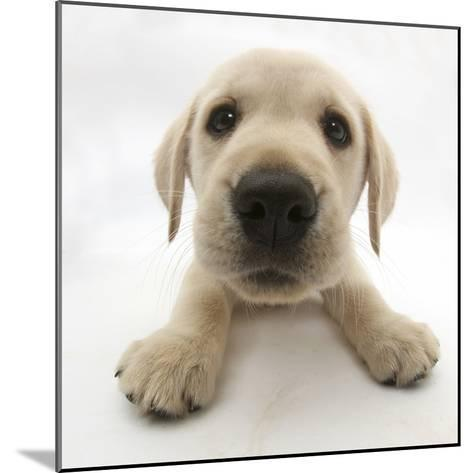 Yellow Labrador Retriever Puppy, 8 Weeks Old, Lying with Head Up-Mark Taylor-Mounted Photographic Print