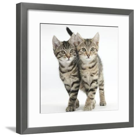 Tabby Kittens, Stanley and Fosset, 12 Weeks, Walking Together in Unison-Mark Taylor-Framed Art Print