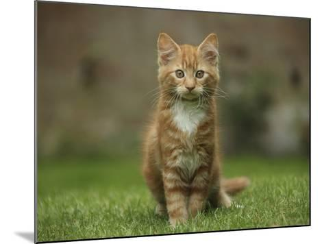 Portrait of a Ginger Kitten on Grass-Mark Taylor-Mounted Photographic Print
