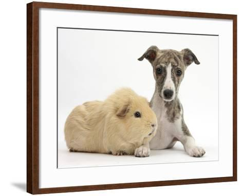 Brindle-And-White Whippet Puppy, 9 Weeks, with Yellow Guinea Pig-Mark Taylor-Framed Art Print