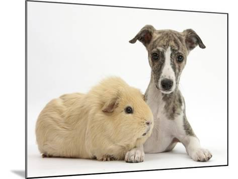 Brindle-And-White Whippet Puppy, 9 Weeks, with Yellow Guinea Pig-Mark Taylor-Mounted Photographic Print
