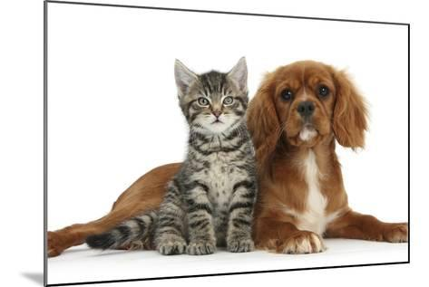Tabby Kitten, Fosset, 8 Weeks Old, Sitting with Ruby Cavalier King Charles Spaniel Bitch, Star-Mark Taylor-Mounted Photographic Print