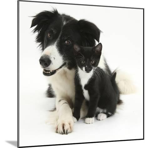 Black-And-White Border Collie Bitch, with Black-And-White Tuxedo Kitten, 10 Weeks-Mark Taylor-Mounted Photographic Print
