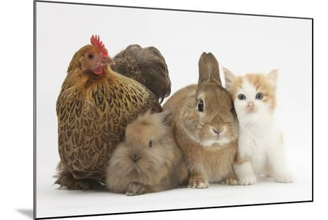 Partridge Pekin Bantam with Kitten, Sandy Netherland Dwarf-Cross and Baby Lionhead-Cross Rabbit-Mark Taylor-Mounted Photographic Print