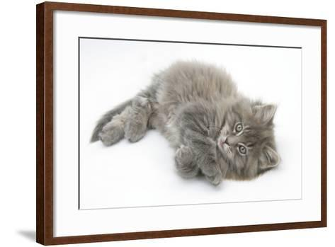 Maine Coon Kitten, 8 Weeks, Lying on its Back, Looking Up in a Playful Manner-Mark Taylor-Framed Art Print