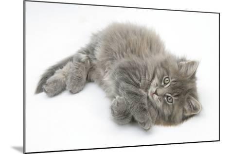 Maine Coon Kitten, 8 Weeks, Lying on its Back, Looking Up in a Playful Manner-Mark Taylor-Mounted Photographic Print