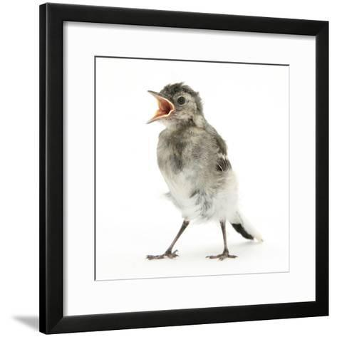 Fledgling Pied Wagtail (Motacilla Alba) Portrait Standing Upright and Calling-Mark Taylor-Framed Art Print