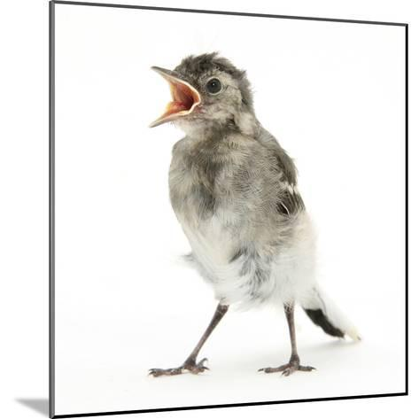 Fledgling Pied Wagtail (Motacilla Alba) Portrait Standing Upright and Calling-Mark Taylor-Mounted Photographic Print