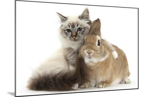 Tabby-Point Birman Cat with Paw Round Sandy Netherland-Cross Rabbit-Mark Taylor-Mounted Photographic Print