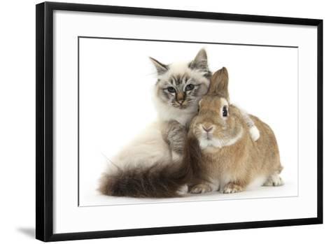 Tabby-Point Birman Cat with Paw Round Sandy Netherland-Cross Rabbit-Mark Taylor-Framed Art Print