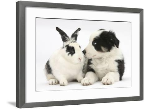 Tricolour Border Collie Puppy Basil, 8 Weeks, with Black and White Rabbit-Mark Taylor-Framed Art Print