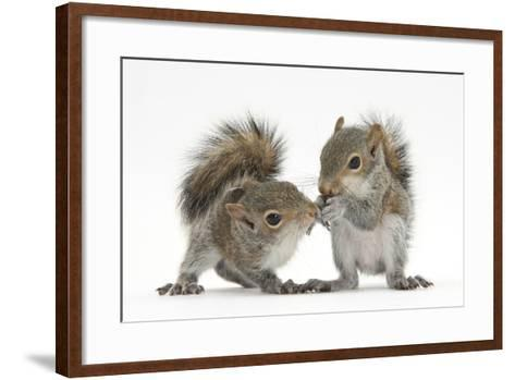 Grey Squirrels (Sciurus Carolinensis) Two Young Hand-Reared Babies Portrait-Mark Taylor-Framed Art Print