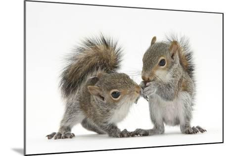 Grey Squirrels (Sciurus Carolinensis) Two Young Hand-Reared Babies Portrait-Mark Taylor-Mounted Photographic Print