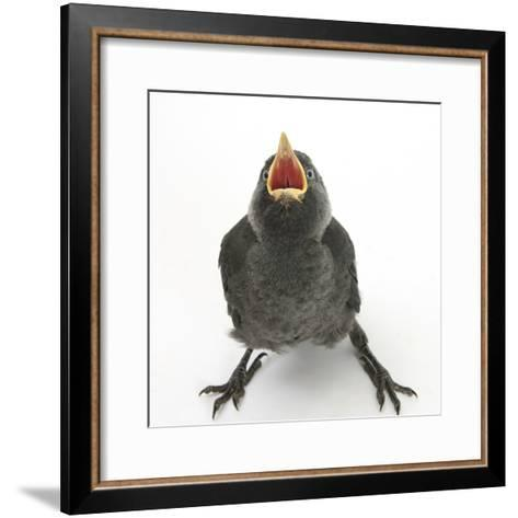 Baby Jackdaw (Corvus Monedula) Gaping to Be Fed-Mark Taylor-Framed Art Print