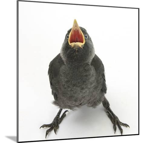 Baby Jackdaw (Corvus Monedula) Gaping to Be Fed-Mark Taylor-Mounted Photographic Print