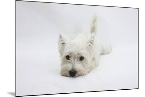 West Highland White Terrier Lying Stretched Out with Her Chin on the Floor-Mark Taylor-Mounted Photographic Print