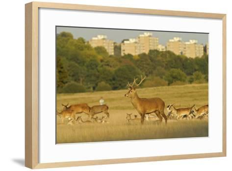 Red Deer (Cervus Elaphus) in Richmond Park with Roehampton Flats in Background, London, England, UK-Terry Whittaker-Framed Art Print