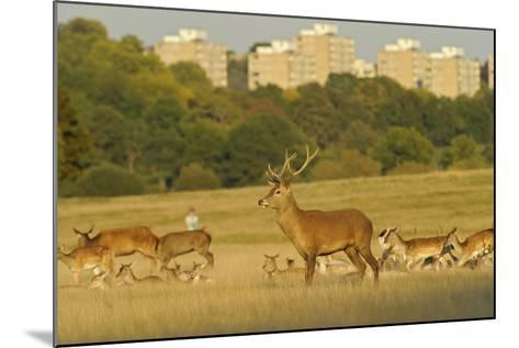 Red Deer (Cervus Elaphus) in Richmond Park with Roehampton Flats in Background, London, England, UK-Terry Whittaker-Mounted Photographic Print
