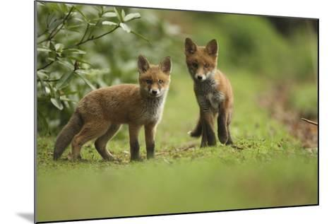 Red Fox (Vulpes Vulpes) Cubs, Hertfordshire, England, UK, May-Luke Massey-Mounted Photographic Print