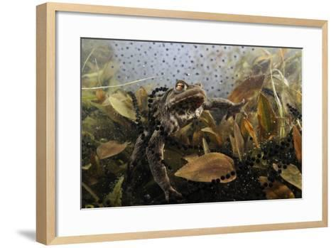 Common Toad (Bufo Bufo) in a Pond, with Toad Spawn and Frogspawn, Coldharbour, Surrey, UK-Linda Pitkin-Framed Art Print