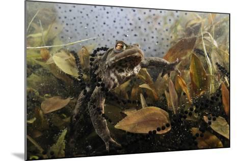 Common Toad (Bufo Bufo) in a Pond, with Toad Spawn and Frogspawn, Coldharbour, Surrey, UK-Linda Pitkin-Mounted Photographic Print