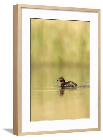 Little Grebe (Tachybaptus Ruficollis) on Lake, Surrey, England, UK, April-Luke Massey-Framed Art Print