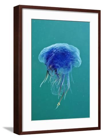 Blue Jellyfish (Cyanea Lamarckii), Feeding on Small Plankton, Lundy Island, Devon, UK-Linda Pitkin-Framed Art Print