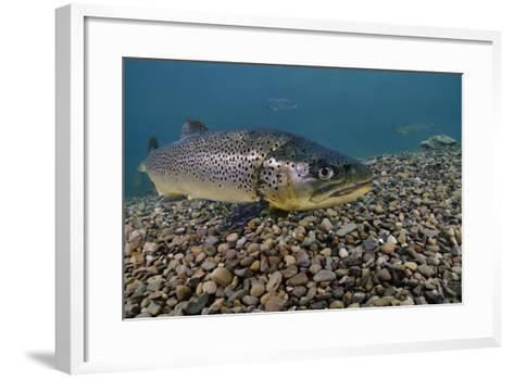 Brown Trout (Salmo Trutta) Jackdaw Quarry, Capernwray, Carnforth, Lancashire, UK, August-Linda Pitkin-Framed Art Print