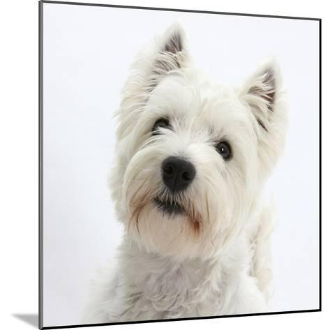 Portrait of a West Highland White Terrier-Mark Taylor-Mounted Photographic Print